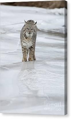 Iced Canvas Print by Wildlife Fine Art
