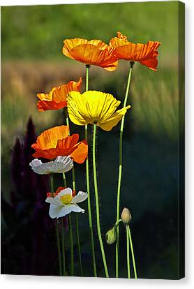 Iceland Poppies In The Sun Canvas Print by Gill Billington