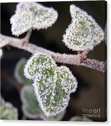 Icy Ivy Canvas Print by Terri Waters