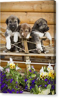 Iditarod Alaskan Husky Puppies Pose In Canvas Print by Jeff Schultz