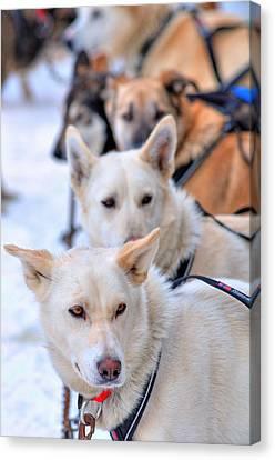 Iditarod Team Canvas Print by Ron Day