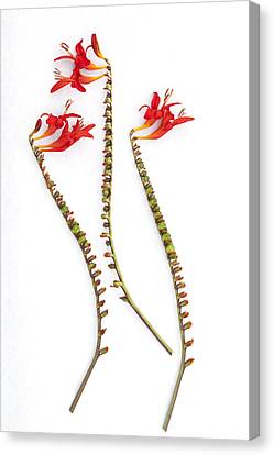 If Seahorses Were Flowers Canvas Print by Carol Leigh