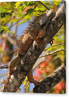 Iguana Canvas Print by Coby Cooper