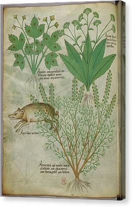 Illustration Of Plants And A Boar Canvas Print by British Library