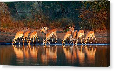 Impala Herd With Reflections In Water Canvas Print by Johan Swanepoel