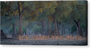 Impalas At Dawn Canvas Print by Giovanni Casini