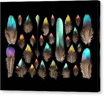 Impeyan Monal Pheasant Canvas Print by Chris Maynard