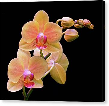 In Bloom Canvas Print by Rona Black