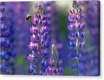In The Land Of Lupine Canvas Print by Mary Amerman