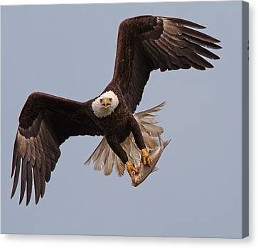 Incoming Eagle Canvas Print by Martin Radigan