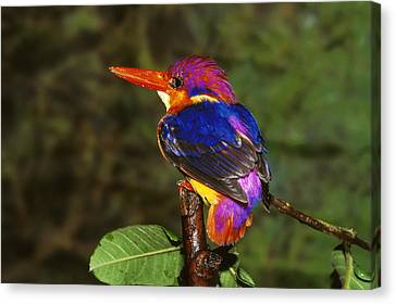 India Three Toed Kingfisher Canvas Print by Anonymous