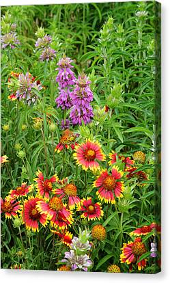 Indian Blankets And Lemon Horsemint Canvas Print by Lynn Bauer