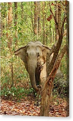 Indian Elephant Coming Out Of Sal Canvas Print by Jagdeep Rajput