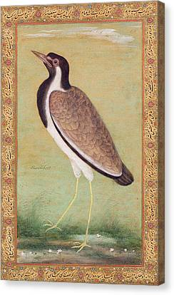 Indian Lapwing Canvas Print by Mansur