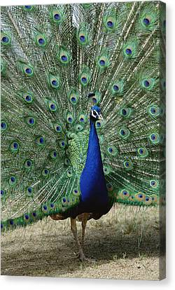 Indian Peafowl Male In Full Display Canvas Print by Tui De Roy