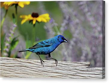 Indigo Bunting (passerina Cyanea Canvas Print by Richard and Susan Day
