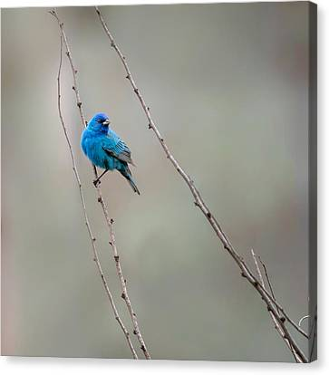 Indigo Bunting Square Canvas Print by Bill Wakeley