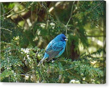 Indigo Bunting Visit Canvas Print by Brenda Brown