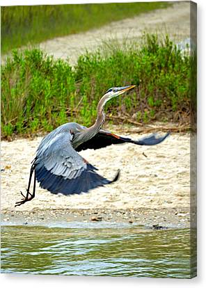Inflight Great Blue Heron Canvas Print by Sandi OReilly