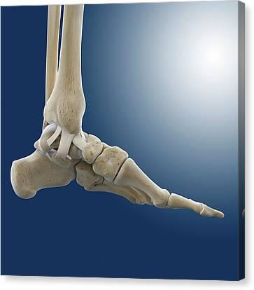 Inner Ankle Ligaments Canvas Print by Springer Medizin