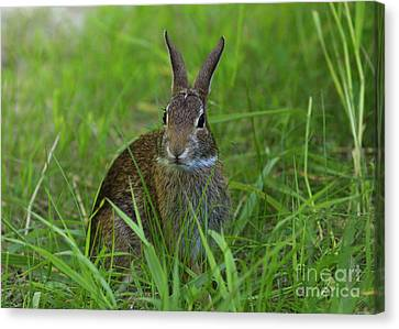Inquisitive Rabbit Watching You Canvas Print by Inspired Nature Photography Fine Art Photography