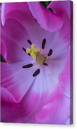 Inside The Pink Tulip Canvas Print by Garry Gay