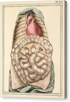 Internal Body Organs, 1825 Artwork Canvas Print by Science Photo Library