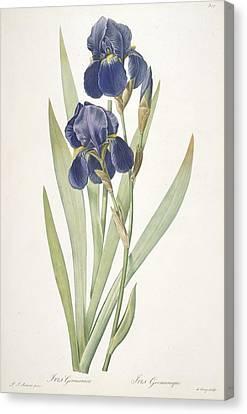 Iris Germanica Bearded Iris Canvas Print by Pierre Joseph Redoute
