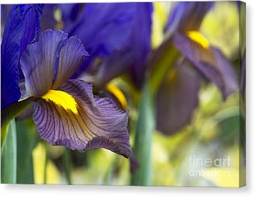 Iris Hollandica Eye Of The Tiger Canvas Print by Tim Gainey