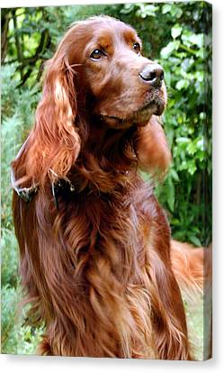 Irish Setter Canvas Print by Anna Kennedy