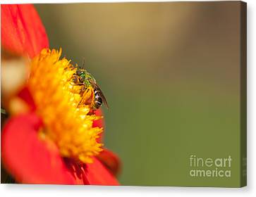 It Is All About The Buzz Canvas Print by Beve Brown-Clark Photography
