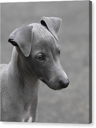 Italian Greyhound Puppy Canvas Print by Angie Vogel