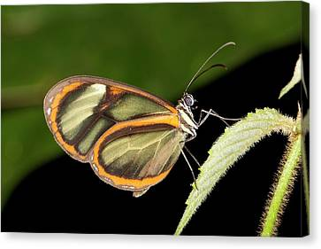 Ithomine Butterfly Canvas Print by Dr Morley Read