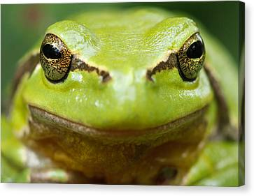 It's Not Easy Being Green _ Tree Frog Portrait Canvas Print by Roeselien Raimond
