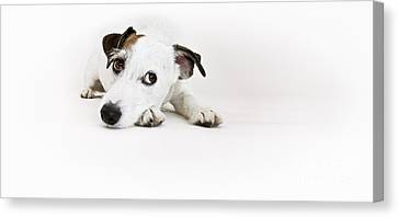 Jack Russell Terrier- Fine Art Photography By Holly Martin Canvas Print by Holly Martin