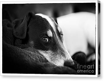 Jack Russell Terrier Portrait In Black And White Canvas Print by Natalie Kinnear