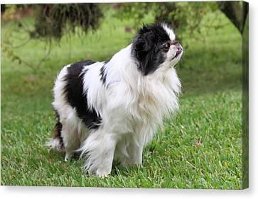 Japanese Chin - 2 Canvas Print by Rudy Umans