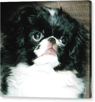Japanese Chin Puppy Portrait Canvas Print by Jim Fitzpatrick