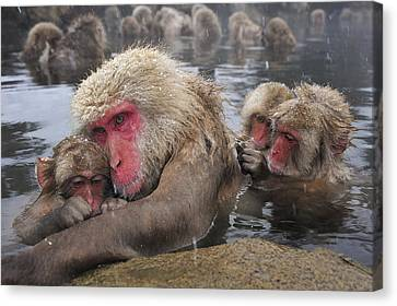 Japanese Macaque Grooming Mother Canvas Print by Thomas Marent