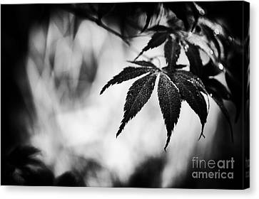 Japanese Maple Canvas Print by Tim Gainey