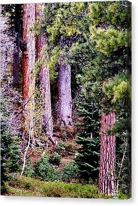 Jeffrey Pine Canvas Print by Deborah Moen