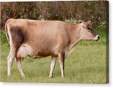 Jersey Cow In Pasture Canvas Print by Michelle Wrighton