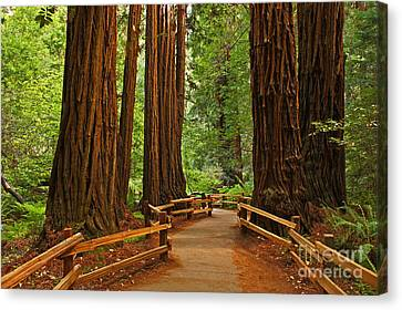 John Muir Redwoods Nineteen Canvas Print by Donald Sewell