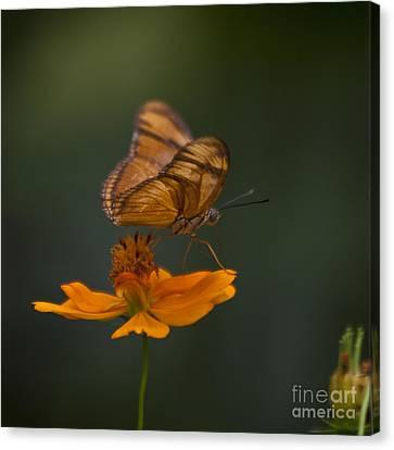 Julia Butterfly Canvas Print by Heiko Koehrer-Wagner
