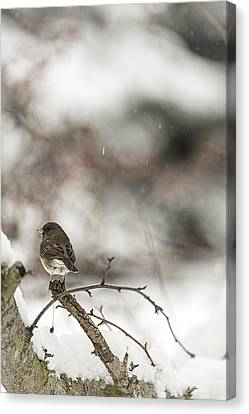 Junco Taking Five Canvas Print by Kate Houlne