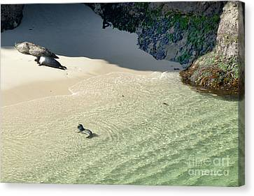 Just Born Baby Sea Lion Pup With Mom And Dad Napping On The Beach Canvas Print by Artist and Photographer Laura Wrede