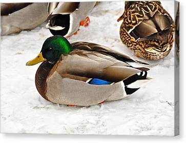 Just Ducky Canvas Print by Catherine Renzini