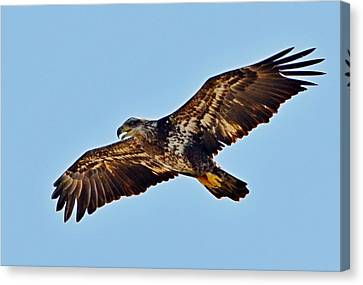 Juvenile Bald Eagle In Flight Close Up Canvas Print by Jeff at JSJ Photography