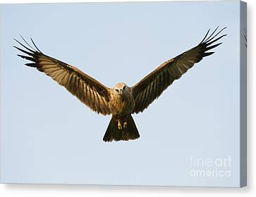Juvenile Brahminy Kite Hovering Canvas Print by Tim Gainey