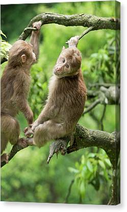 Juvenile Tibetan Macaques In A Tree Canvas Print by Tony Camacho